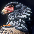 Bateleur Eagle  |  h.38cm w.33cm  |  Oil on board
