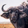 Buffalo and Yellow Billed Ox pecker  |  h.40.6cm w.50.8cm  |  Oil on canvas