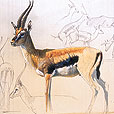 Thompson's Gazelle  |  h.30cm w.40cm  |  Tempera on arches